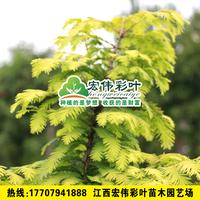金叶水杉金叶水杉小苗绿化苗木彩叶苗