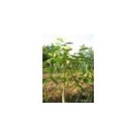 山西品种核桃苗枣树苗 柿子苗 梨树苗 葡萄苗低价出售