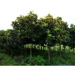 輝煌園林廣玉蘭樹植供應