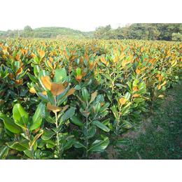 辉煌园林广玉兰种植价格