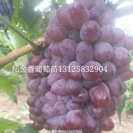 郁金香葡萄苗出售 吉林辽宁哪有卖郁金香葡萄苗 公主岭坤朋基地