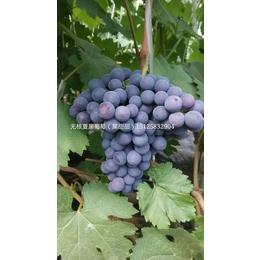吉林夏黑葡萄苗 出售无核夏黑 吉林黑龙江夏黑葡萄苗价格