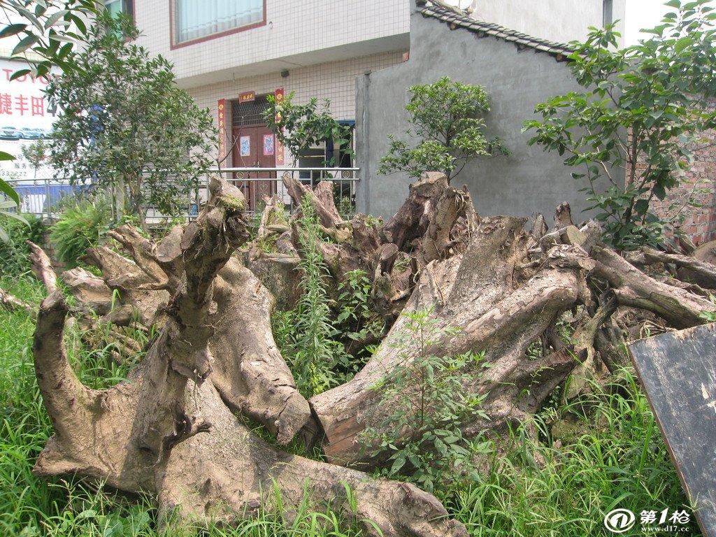 出售金丝楠木树根,造型独特