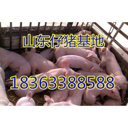 淄博仔猪基地优质三元仔猪批发价格下滑低价养猪场直销
