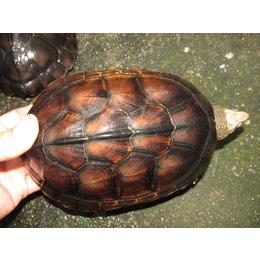 南石龟零售批发棕红壳三黑壳冷水质量好价格低
