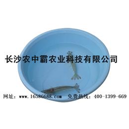 纯淡水养殖基围虾长沙农中霸虾苗孵化总场