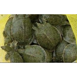 甲鱼 生态外塘养殖甲鱼苗高成活率龟鳖养殖场直供