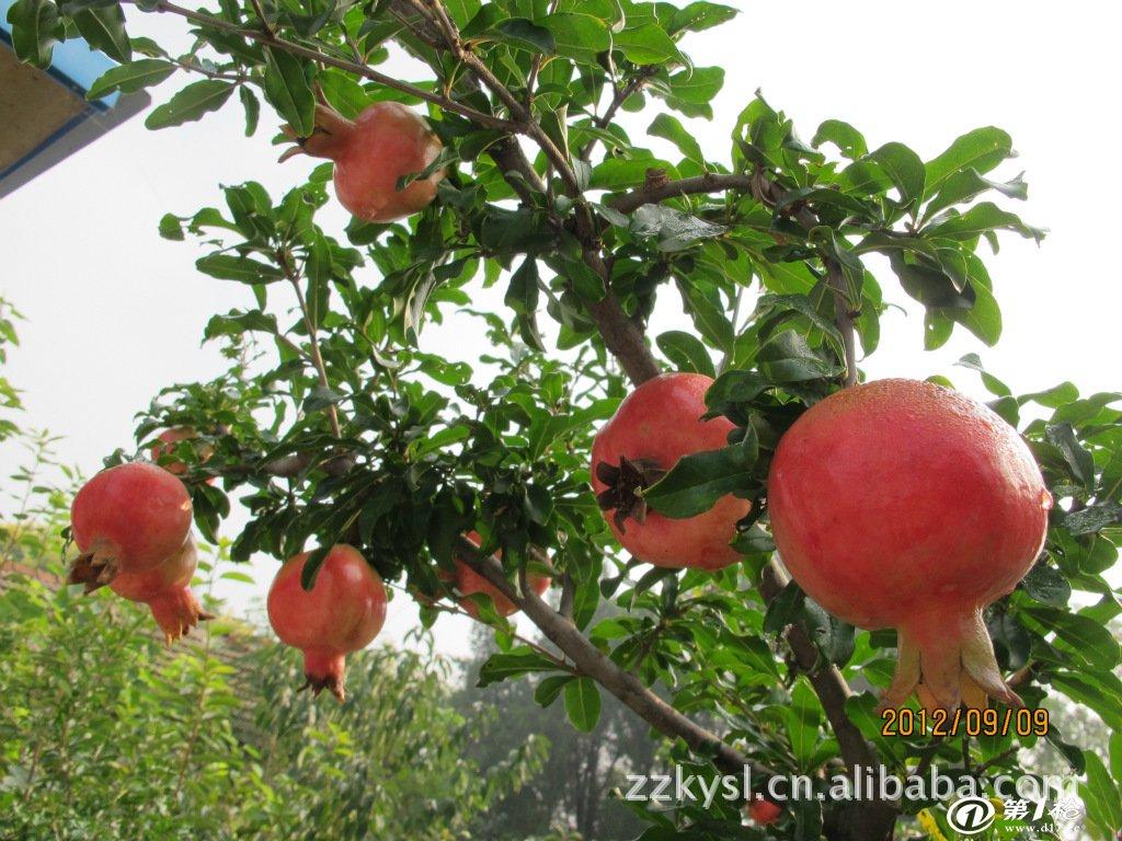 3,各种规格的石榴苗,石榴树,石榴古树,主要品种有青皮甜,状元红,牡丹