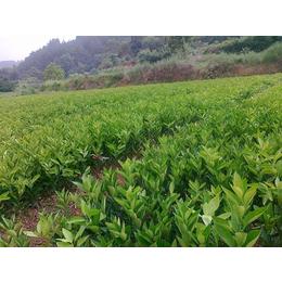 桂林哪里有脐橙树苗批发