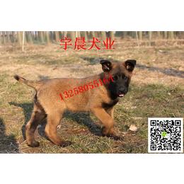 二三个月的小红马犬多少钱 纯种红马犬多少钱