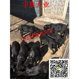 小罗威纳犬的图片价格  哪里有罗威纳犬幼崽出售