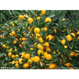 广西哪里有南丰蜜橘苗出售
