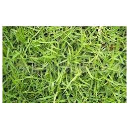 园林绿化兰引三号屮2.80元-3.3元
