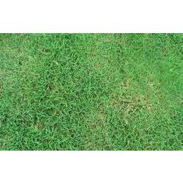 夏威夷草≥1000平方2.80 元/平方