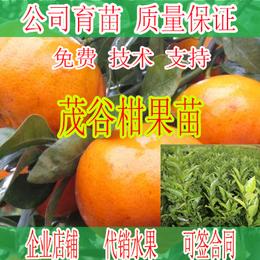 象州哪里有茂谷柑果苗卖