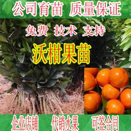 哪里有贵州沃柑果苗批发