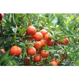 福建哪里有东方红柑橘苗批发