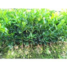 楚雄州哪里有夏橙果苗出售