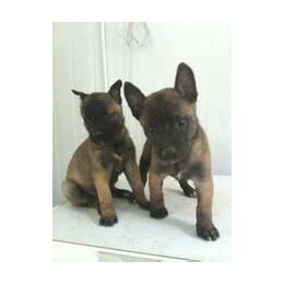马犬多少钱一条 马犬幼犬 马犬养殖基地