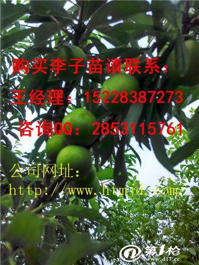 脆红李子树苗长势极旺