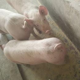 江西南昌特种小猪养殖