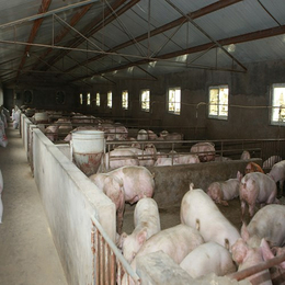 南昌特种小猪养殖  味道鲜美可口