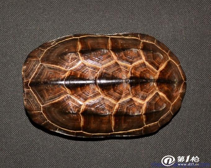 第一枪 产品库 饰品,工艺品,礼品 宗教用品 其他宗教用品 龟壳价格 龟