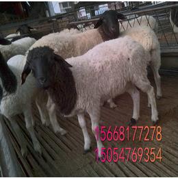 皓轩纯种杜泊羊养殖 50-60斤杜泊羊多少钱一只