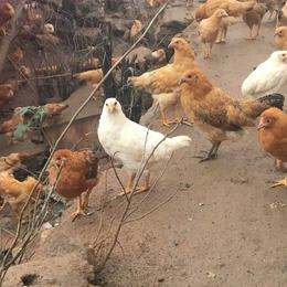 供应 绿源生态放养土鸡肉质鲜美
