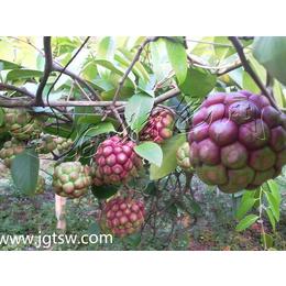 大血藤种植布福娜黑老虎种苗
