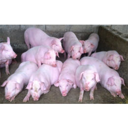 山东仔猪市场良种猪苗批发价格行情