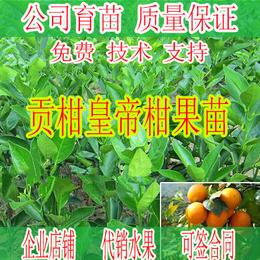 贺州皇帝柑树苗价格-贺州哪里有皇帝柑树苗卖-批发皇帝柑树苗