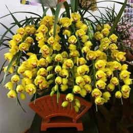 较为耐寒的兰花品种--惠兰