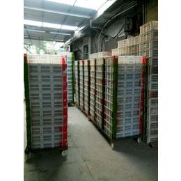 专业孵化优质山东红玉鸡苗 九斤红鸡苗 380鸡苗