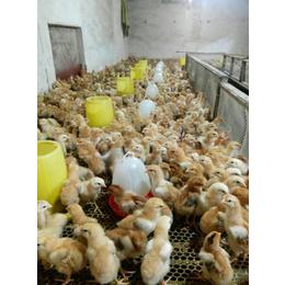 专业养殖优质山东红玉鸡苗 九斤红鸡苗 380鸡苗
