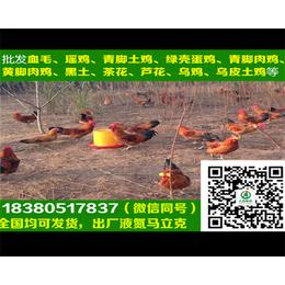 宝鸡五黑绿壳蛋鸡苗宝鸡青脚麻鸡孵化场养殖基地