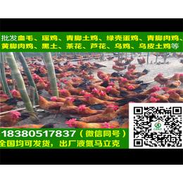 贵州B830鸡苗贵州B830鸡苗批发商