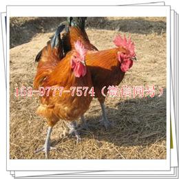 成都鸡苗供应商批发禽类