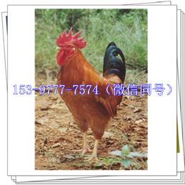新津九斤黄鸡苗多少钱腺胃