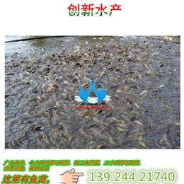 黄颡黄丫角鱼苗批发_养殖信誉保证
