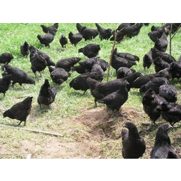 绿壳蛋鸡苗-养殖基地-绿壳蛋鸡苗价格批发