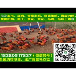 蚌埠绿壳蛋鸡苗蚌埠绿壳蛋鸡苗厂家