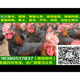 兰州肉鸡苗兰州肉鸡苗产蛋管理