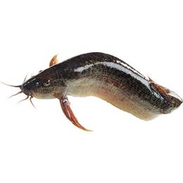 泥鳅、有良泥鳅养殖场、养殖技术泥鳅