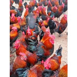 鞍山麻羽绿壳蛋鸡苗鞍山麻羽绿壳蛋鸡苗产蛋管理