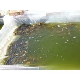 忻州泥鳅苗|有良泥鳅养殖基地|泥鳅苗养殖