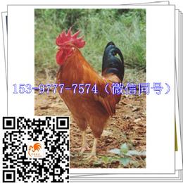 资阳九斤黄鸡苗出售价格育雏