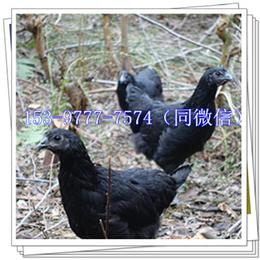 广安绿壳蛋鸡苗公司鸡棚