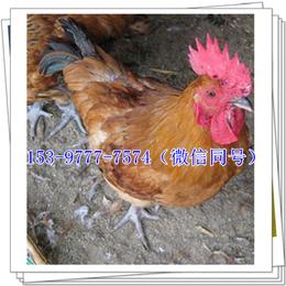 天水青脚麻鸡苗生产厂家