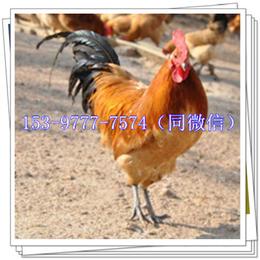 兰州土鸡苗批发市场禽类